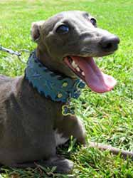 leather sighthound wide collars