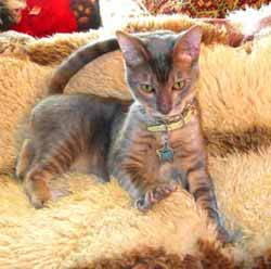Blue Toyger Cat in Animalstars tag