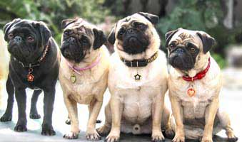 pug pugs pictures photos