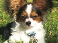 Papillon Butterfly dog tags